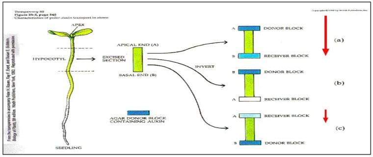 شكل (5) :إنتقال الأوكسينات في الساق (Peter et al., (1992