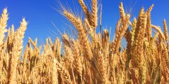 دراسة مورفوفیزیولوجیة و بیوكیمیائیة لنبات القمح الصلب المزروع في الجزائر (Triticum durum Desf) صنف (melanopus)