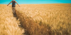 التصنيف النباتي للقمح
