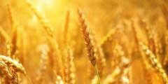 العوامل المؤثرة على دورة حياة القمح