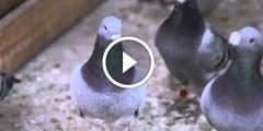 فيديو ..امراض مشروع تربية الحمام بالصور مع شرح الاسباب والوقاية والعلاج