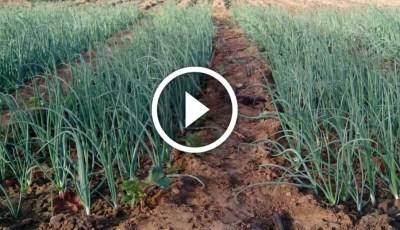 فيديو .. زراعة البصل واهم المعاملات والتسميد ومكافحة الافات فى عمر ثلاث شهور