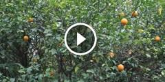زراعة البرتقال الصيفي واهم المعاملات الزراعية من تسميد ومغذيات ومكافحة اخطر الافات بعد ثبات العقد