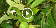 فيديو.. زراعة الجوافة واهم المعاملات الزراعية ومكافحة اخطر الافات