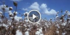 فيديو .. زراعة القطن ومكافحة الذبابة البيضاء بالتفصيل