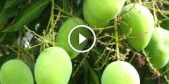 فيديو .. زراعة المانجو ومميزات الاصناف المقزمة الحديثة