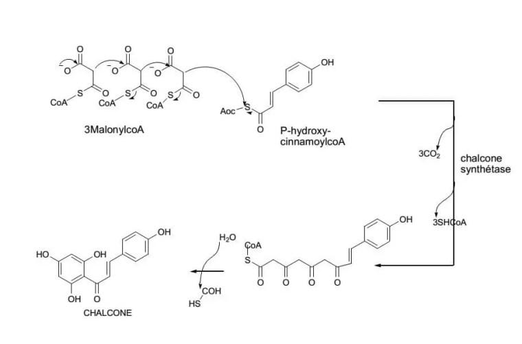 الاصطناع الحيوي للفلافونيدات