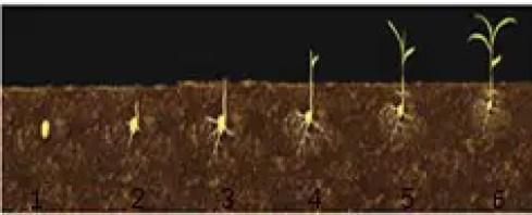 شكل1:دورة حياة نبات الذرة (Revilla, 2010)  (1- إنبات البذور يدوم من 1-3- أسابيع. ، 2 -3- بعد الإنبات يخرج العديد من الجذور.، 4- خروج الأوراق الصغيرة في هذه المرحلة تخرج من كل عقدة ورقة.، 5- بعد 9ايام من صعود النبات يتناسب مع تطور 3اوراق مع خروج جذور عارضة من أول عقدة.، 6- بعد 10ايام من الصعود تتطورا لورقة الرابعة خلال هذه المرحلة ينفذ مخزون الحبة و يعتمد النبات على تغذيته الذاتية)