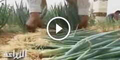 فيديو .. زراعة البصل الفوتون الياباني للتصدير بنظام البيفوت فى الاراضي الرملية
