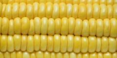 التركيب الكيميائي لحبوب الذرة