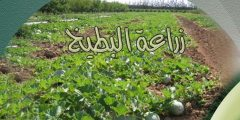 زراعة البطيخ