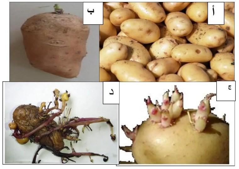 الشكل (1): المراحل الفيزيولوجية لدرنة البطاطا (Bruno et Bernard, 2007).  (أ) مرحلة السكون (ب) مرحلة السيادة القمية.  (ج) مرحلة فقدان السيادة (د) مرحلة الشيخوخة.