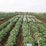تأثير التسميد الحيوي على نمو إنتاج البطاطا