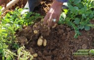 تأثير التسميد العضوي على نمو وإنتاج البطاطا