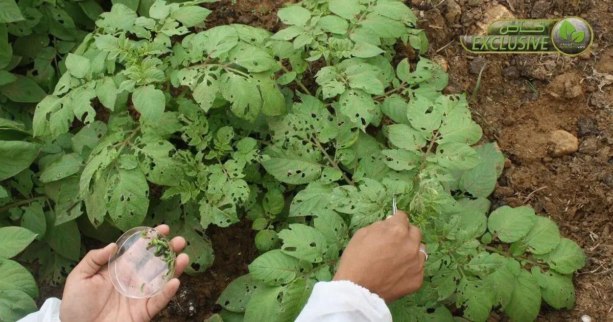 الافات و الأمراض التي تصيب نبات البطاطا