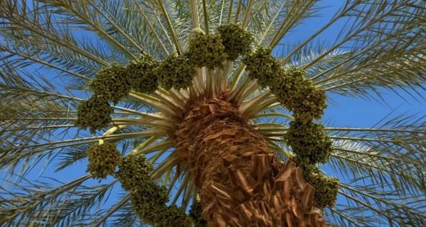 إنشاء البساتين الحديثة والرعاية الفنية لأشجار النخيل
