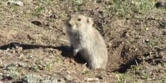 فأر الحقل Microtus socialis أضراره، حياته ومكافحته