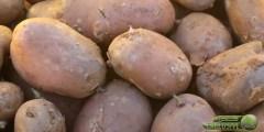 الاحتياجات الزراعية لمحصول البطاطا