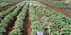 التصنيف العلمي لنبات البطاطا