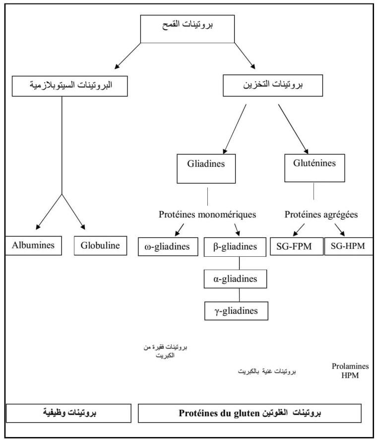 شكل  :04التركيب البروتيني للقمح حسب )Shewry et al., (1