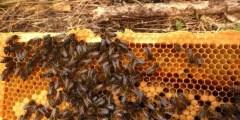 كتاب افات نحل العسل