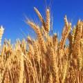 تصنيف القمح الصلب