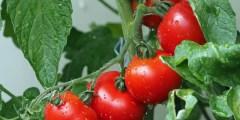 أثر الملوحة على ثمار الطماطم