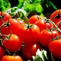 أثر الملوحة على الظاھرة الفیزیولوجیة لنبات الطماطم