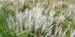 الشيح البرى Artemisia cinae