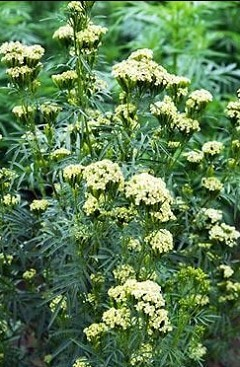القطیفة المكسیكیة Tagetes minuta L. T. glandulifera L.