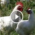 10 خطوات للنجاح تربية الدواجن والطيور فى المنزل