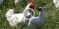 فيديو .. 10 خطوات للنجاح تربية الدواجن والطيور فى المنزل