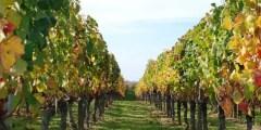 التغذية اللاجذرية (التسميد الورقي) لأشجار العنب