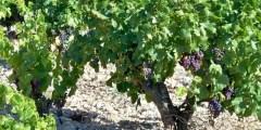 أنواع البراعم في شجرة العنب
