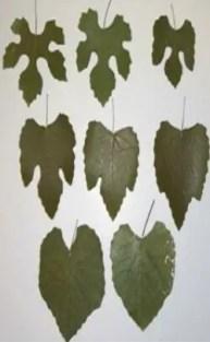 الأوراق Leaves