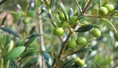 زراعة وانتاج الزيتون