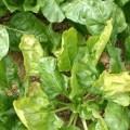 الأهمية الإقتصادية لأمراض النبات