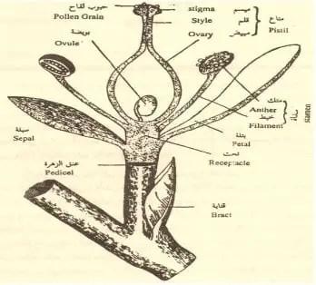 شكل3:الزهرة بأجزائها المختلفة (شكري إبراهيم سعد,2005).