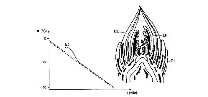 شكل (5) :توضع بلورات الجليد و منحنى التبريد (ـــ) لبرعم نبات Sorbus aria.  تبلور وحيد (EP)يكون ظاهر في الورقات (EC)و الأولات الورقية (EF),(ـــ) تطور حرارة بيت التبريد، (GL)جليد، tالزمن بالدقائق (Dereuddre , 1978).