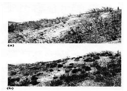 شكل(14):النمو بداية من الإكليل عند نبات (Adenotema fasculatum)بعد مرور النار في كاليفورنيا.  4 (a)ماي ، 1939 و بعد 6 أشهر من الحريق (b)تجديد كثيف (Daubenmire, 1968).