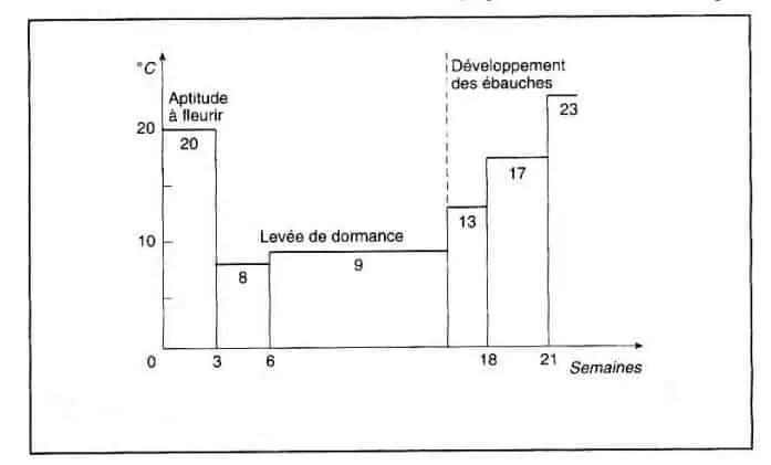 شكل (4) :درجات الحرارة المثلى للإزهار عند نبات bulbe de tulipe صنف W. Copland .(1978 ، Heller في1930 ، Blaauw et al)