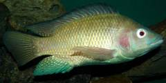تكاثر أسماك المشط Tilapia