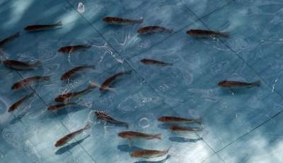 طرق التربية في مزارع الأسماك الدافئة