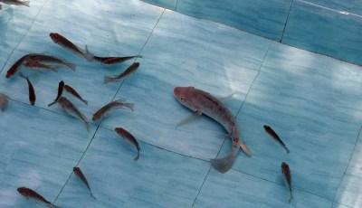فسيولوجيا الهضم عند الأسماك