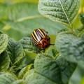 دور الزنك في النبات