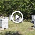 تربية وإكثار نحل العسل
