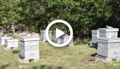 فيديو .. تربية وإكثار نحل العسل