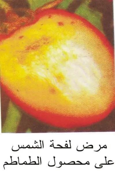 محصول الطماطم