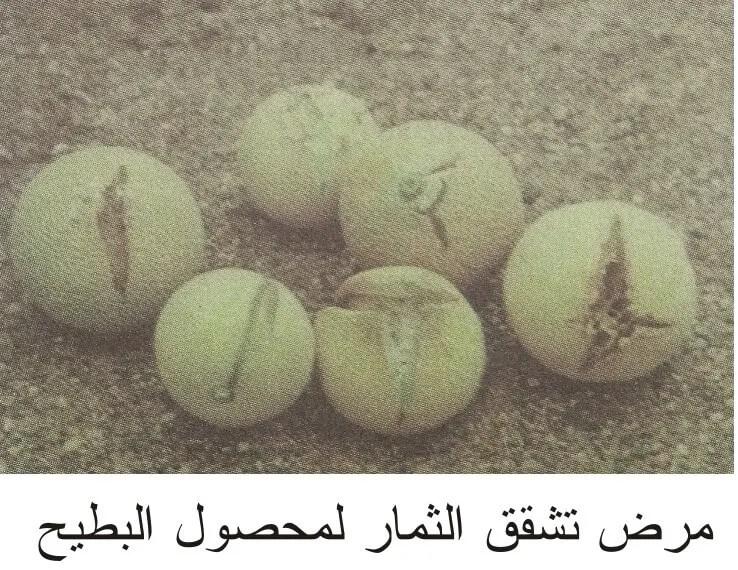 مرض تشقق ثمار البطيخ