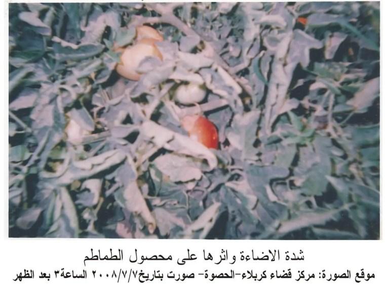 شدة الاضاءة وأثرها على محصول الطماطم